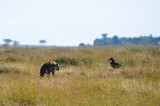 Hyena confronts the Vulture.Serengeti