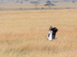Secretary bird.Serengeti