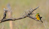 little bee-eaters.Serengeti