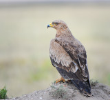 Tawny eagle.Grassland of Serengeti