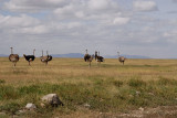 Ostrichs.grassland of Serengeti