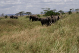 Elephants.grasslandSerengeti