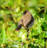 Common Bulbul. Ngorongoro