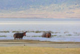 Hippos.Ngorongoro
