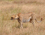 Cheetah walked around