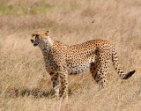 Cheetah twenty meters away