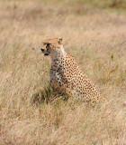 cheetah.Ngorogoro