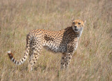 Beautiful  Cheetah .Ngorongoro