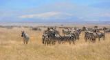 Zebras. Ngorongoro