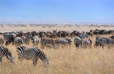 Zebras & Wildebeests. Ngorongoro