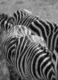 Zebra. Ngorongoro