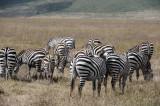 Zebras.Ngorongoro