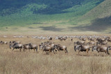 Wildebeests & Zebras .Ngorongoro ridge