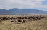 Wildebeest & Zebras walk in line to river.
