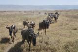 Wildebeest.Ngorongo NP