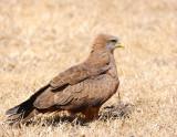 Tawny eagle . Ngorongoro
