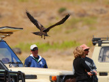 Tawny eagle try to get some food from people