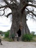 Giant Baobab tree. Tarangire