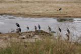 Marabou storks at  Tarangire