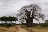 Baobab tree at Tarangire