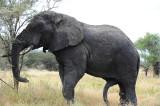 Africa elephant at Tarangire