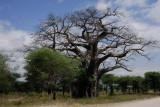 Baobab tree.Tarangire