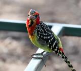 red and yellow barbet at Manyara NP