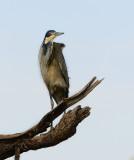 blue Heron.Serengeti