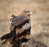 Tawny Eagle.Ngorongoro