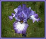 Violet Shimmer X