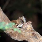 Flying Squirrels 06152006-004.jpg