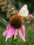Pink-edged Sulphur on a Cone Flower