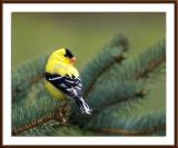 Goldenfinch1.jpg