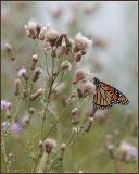Monarch in the Field