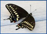 Newly emerged Swallowtail butterfly2