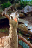 7300_red_legged_seriema.JPG