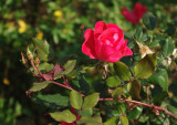 7399_late_season_rose.JPG