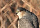 sharp-shinned_hawk