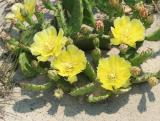 Cactus - Sandy Hook NJ