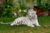 White Bengel Tiger