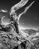 Bristle Cone Pine in White Mountains