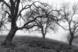 Oaks Trees on a Hill