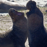 Elephant Seals - Ano Nuevo State Reserve, CA