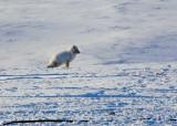 Arctic Fox-001.jpg