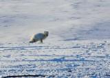Arctic Fox-002.jpg