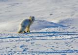 Arctic Fox-004.jpg