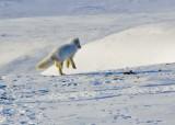 Arctic Fox-005.jpg
