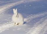 Arctic Hare-001.jpg