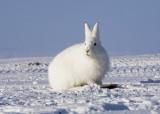 Arctic Hare-002.jpg