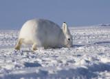 Arctic Hare-003.jpg